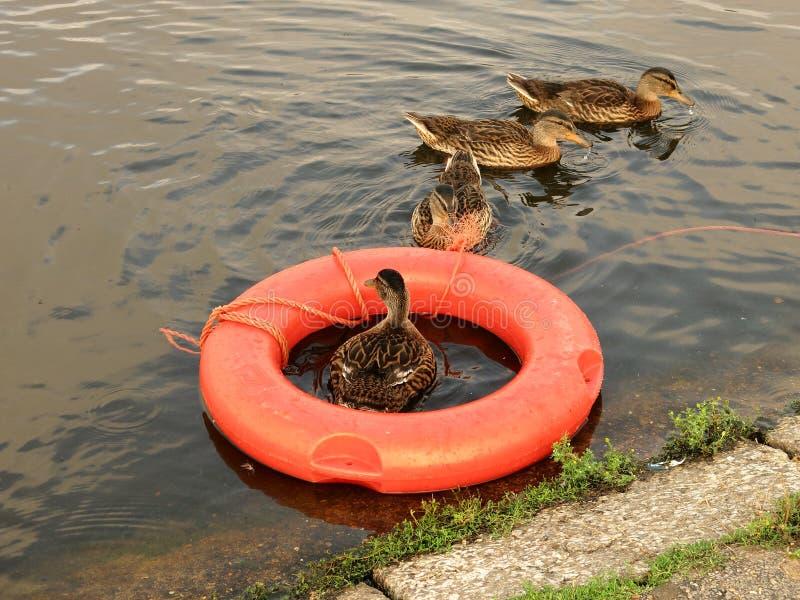 Anatre che nuotano le lezioni fotografia stock