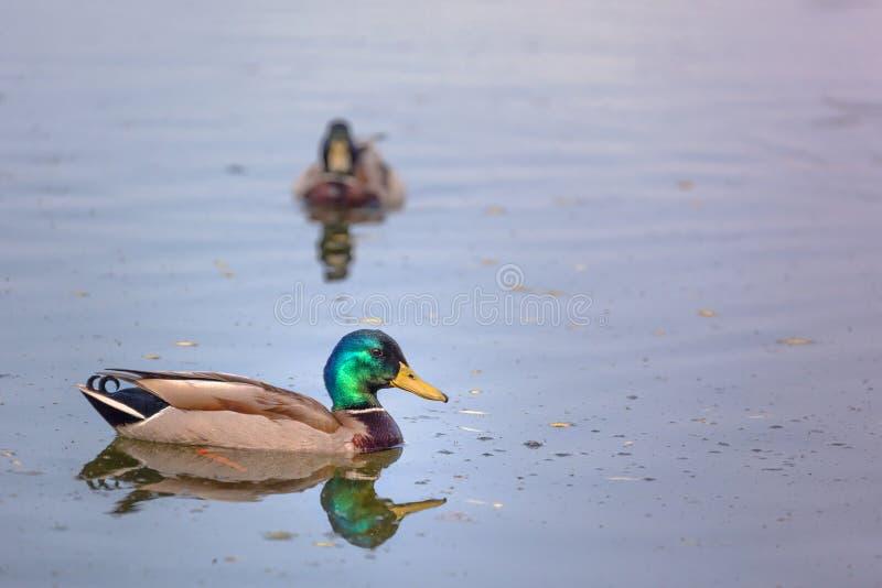 Anatre che nuotano nel fiume immagini stock