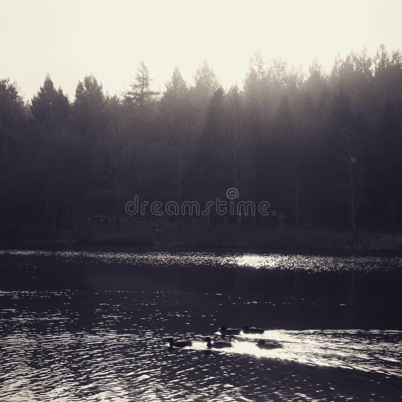 Anatre che nuotano nel lago fotografie stock libere da diritti
