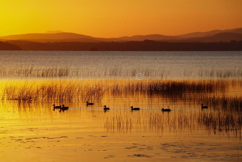 Anatre che nuotano nel lago Champlain sunrise immagini stock