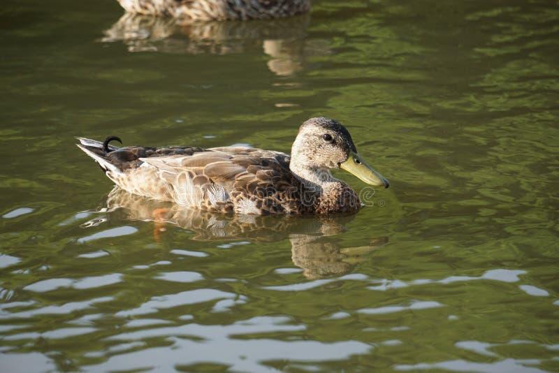 Anatre femminili di Mallard che nuotano in uno stagno fotografia stock