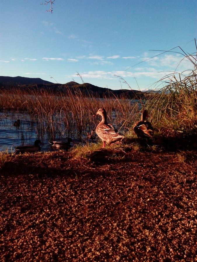 Anatre in lago immagine stock libera da diritti