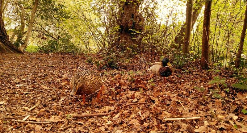 Anatre nella foresta vicino al lago, parco del sud della collina, Bracknell, Regno Unito fotografie stock