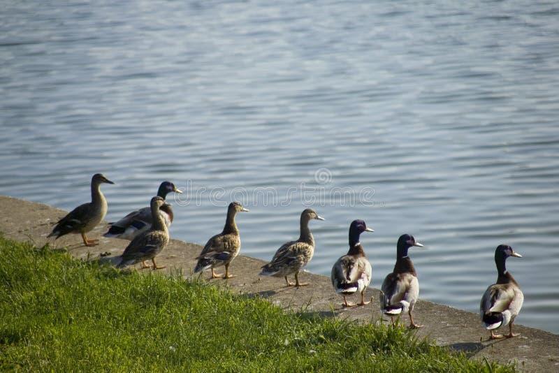 Anatre nella riga che osserva attraverso il lago fotografie stock libere da diritti