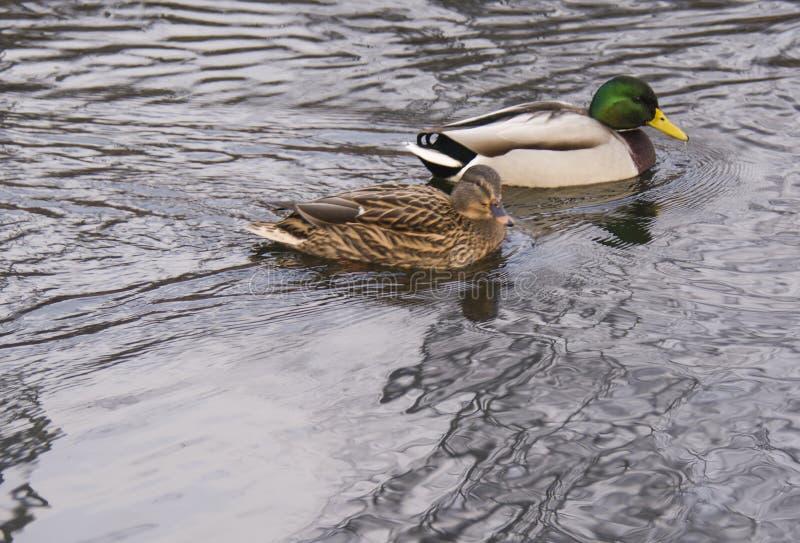 Anatre nello stagno, con la riflessione in acqua fotografia stock libera da diritti