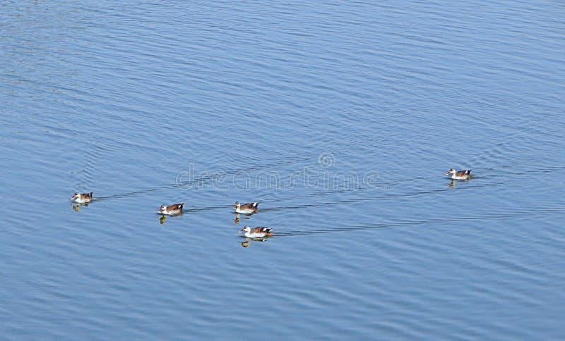 Anatre Punto-fatturate nel lago Randarda, Rajkot, India fotografia stock
