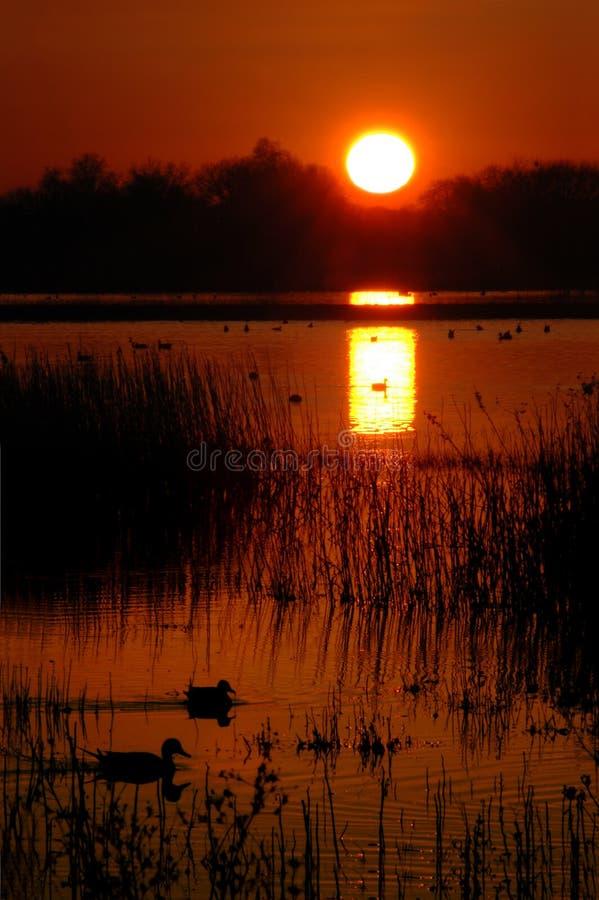 Anatre selvatiche al tramonto fotografia stock