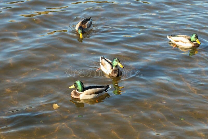 Anatre selvatiche in chiara acqua di fiume immagini stock libere da diritti