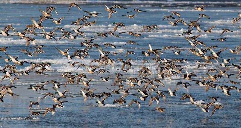 Anatre selvatiche in inverno fotografia stock libera da diritti