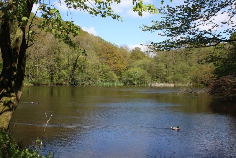 Anatre su acqua, stagno vicino a Calder Vale, Lancashire immagini stock libere da diritti