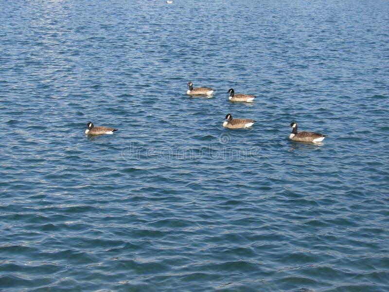 Anatre su un lago immagine stock