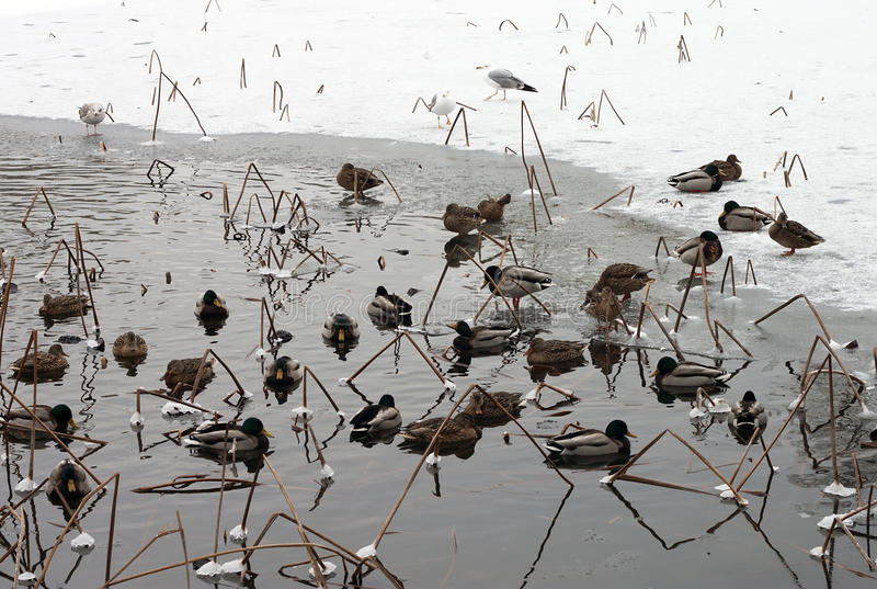 Anatre su un lago congelato immagine stock