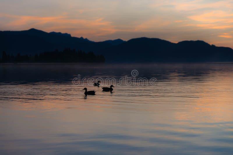 Anatre su un lago nebbioso fotografia stock libera da diritti