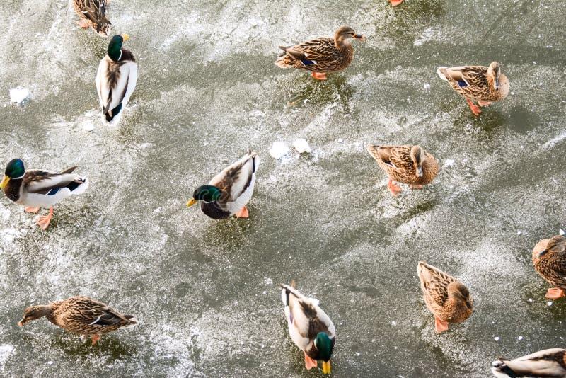 Anatre sul fiume congelato immagine stock libera da diritti