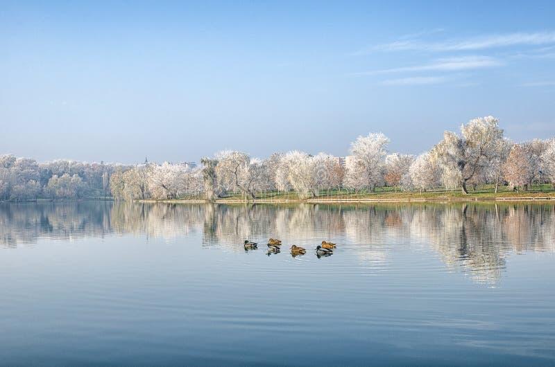 Anatre sul lago fotografie stock