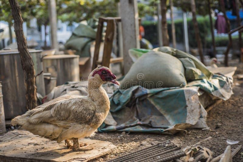 Anatre sull'azienda agricola, occupante su una pietra fotografia stock