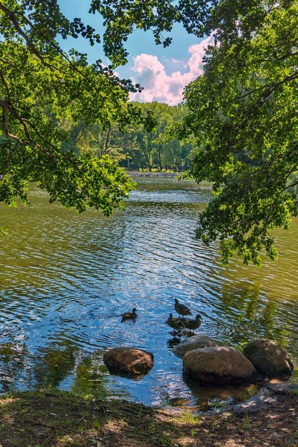 Anatre vicino alla riva che pulisce le loro piume accanto alle pietre con una bella vista attraverso il fogliame degli alberi fotografia stock