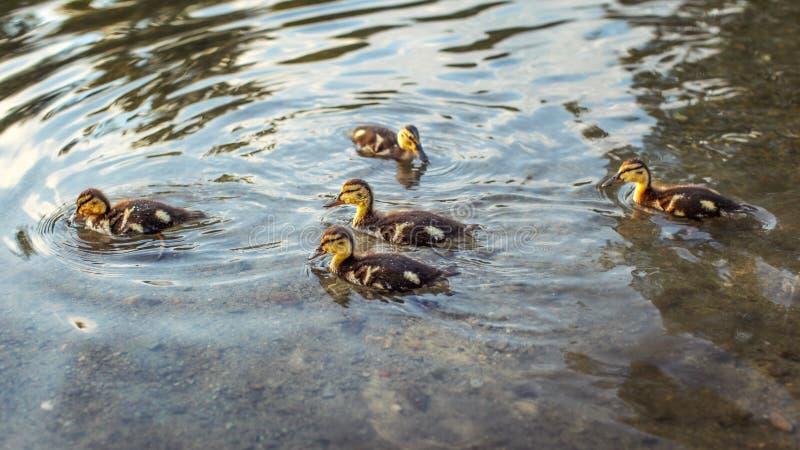 Anatroccoli dell'anatra selvatica di Mallard che nuotano in acqua immagini stock libere da diritti