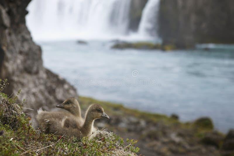 Anatroccoli dell'edredone e cascata islandesi di Godafoss. immagine stock libera da diritti