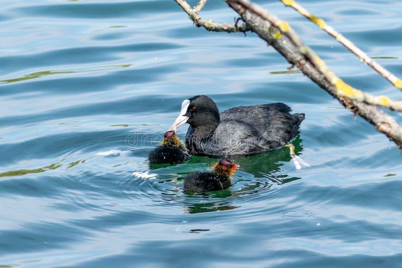 Anatroccoli della gallinella d'acqua in primavera immagine stock libera da diritti