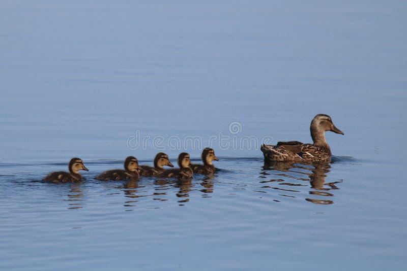 Anatroccoli di Mallard che nuotano con la loro anatra della madre fotografia stock libera da diritti