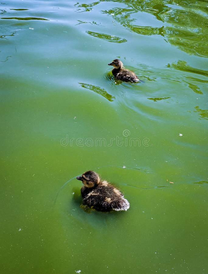 Anatroccoli neonati che nuotano tranquillamente fotografia stock libera da diritti