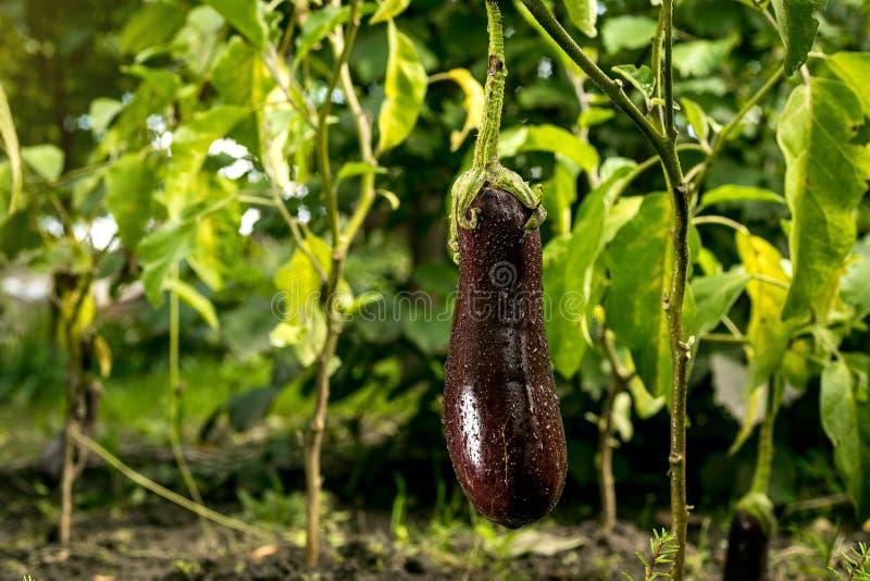 Anbauen der reifen purpurroten Aubergine im Gemüsegarten lizenzfreie stockfotos