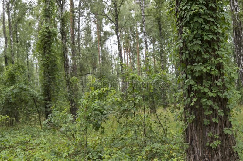 Anche foresta Ivy Covered Trees immagini stock