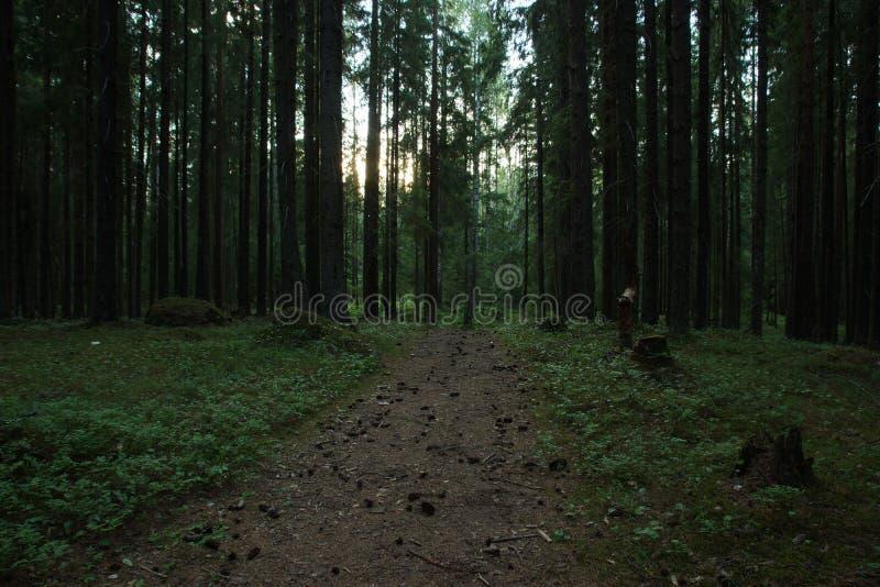 Anche la foresta scura, gli ultimi raggi del sole illuminano il tropo, coperto di coni fotografia stock libera da diritti