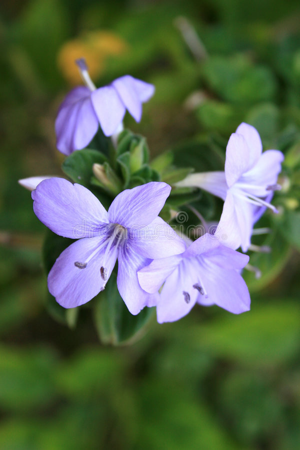 Anchovas violetas foto de stock