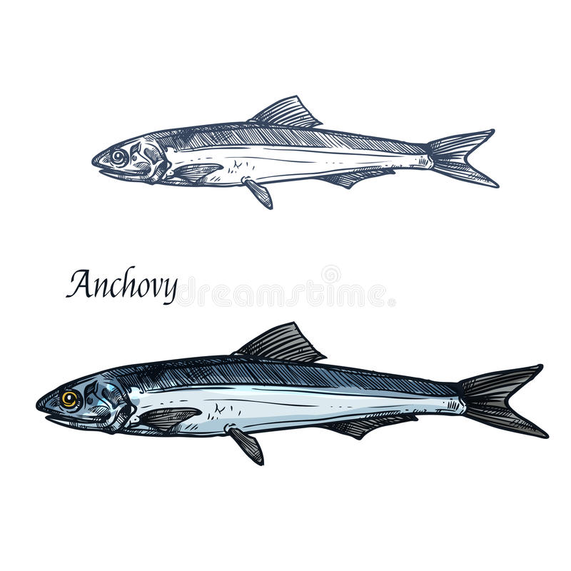 Anchovy fish isolated sketch for seafood design royalty free illustration