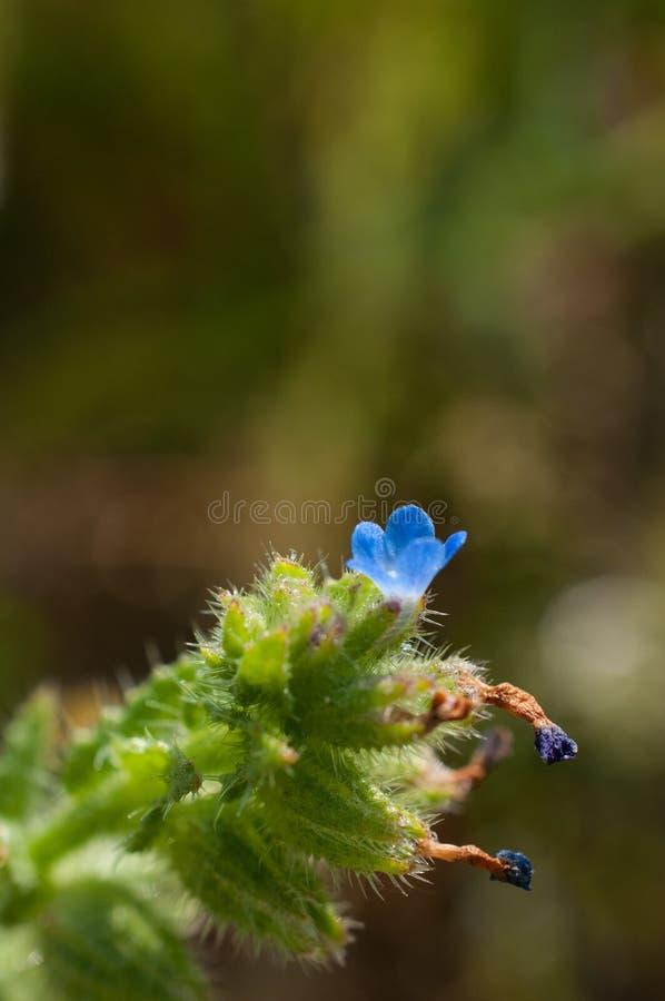 Anchusa arvensis annui bugloss - pianta autoctona all'Europa fotografia stock