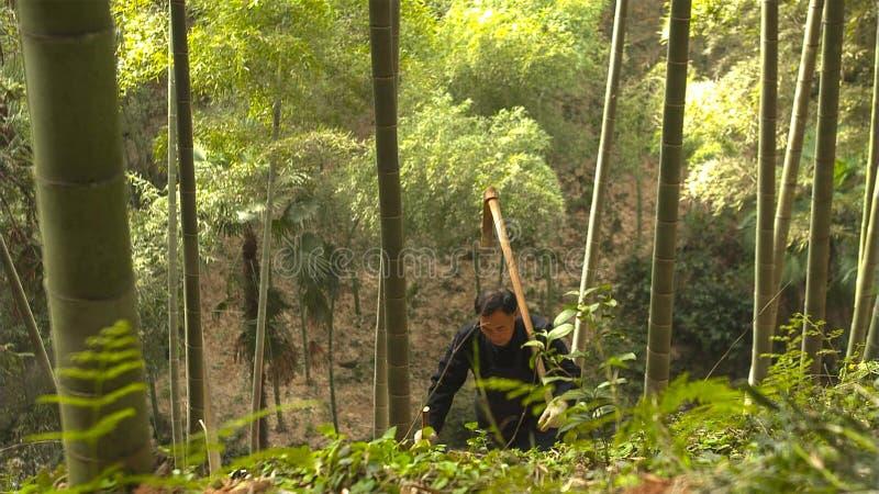Ancião chinês manualmente que encontra e que escava os tiros de bambu que crescem na montanha yunnan China fotos de stock