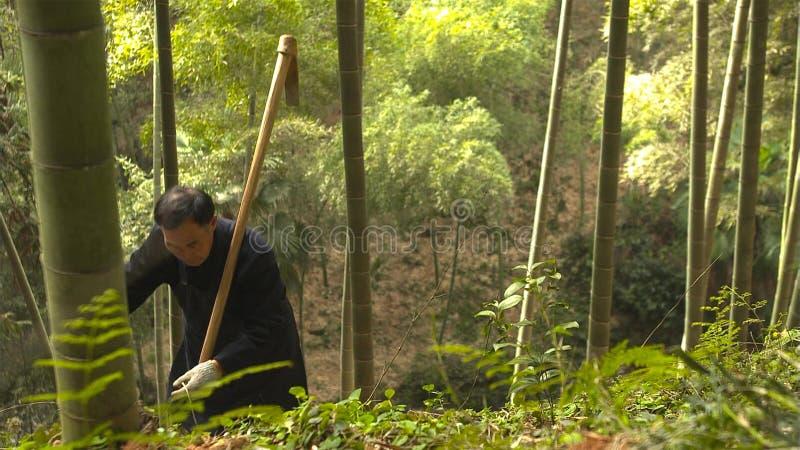 Ancião chinês manualmente que encontra e que escava os tiros de bambu que crescem na montanha yunnan China imagens de stock royalty free