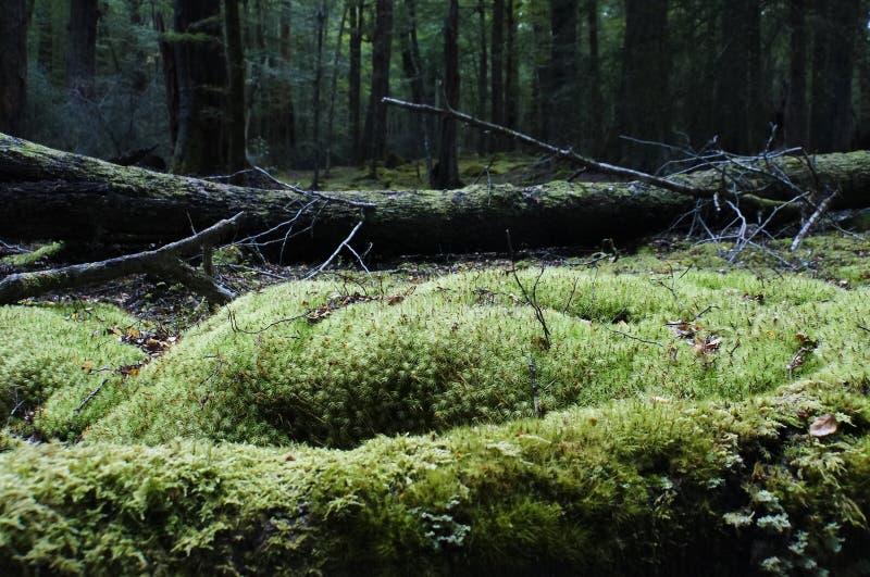 Ancien arbre avec mousse dans la forêt tropicale image libre de droits