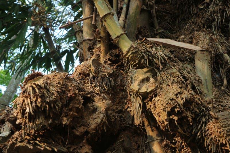 Ancienne et fragile racines de bambou images libres de droits