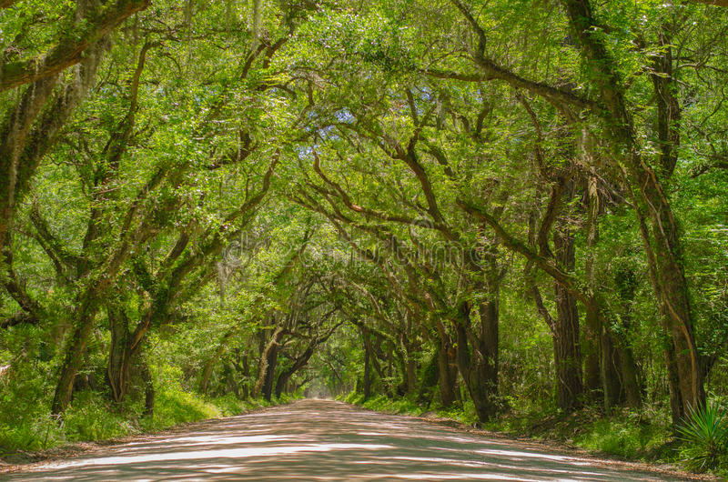 Ancient Avenue of Oaks royalty free stock images