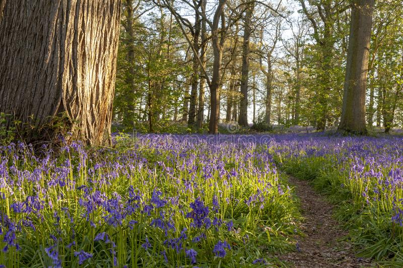 Ancient bluebell woodland in spring time stock photo