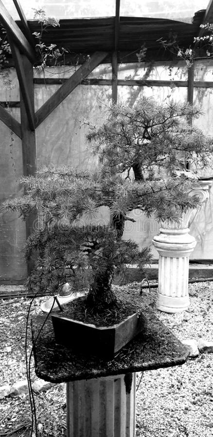 Ancient bonsai Japanese royalty free stock photo