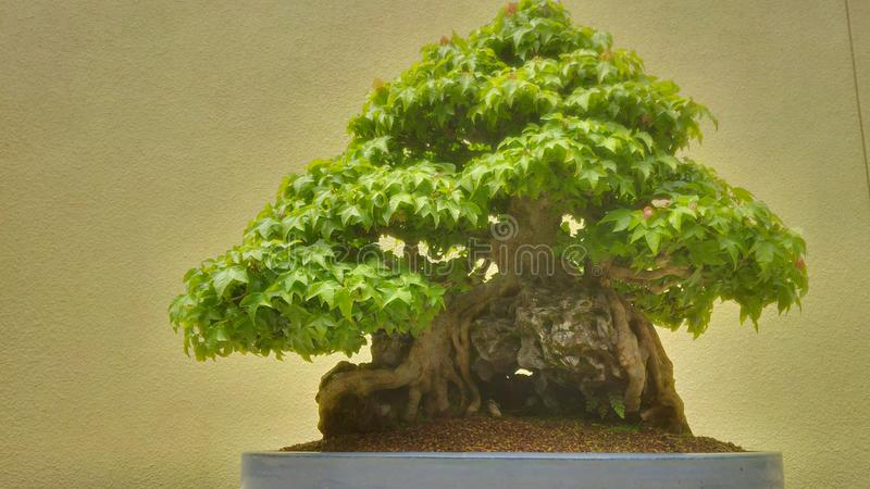 Ancient Bonsai Tree. Over 600 years old stock photos