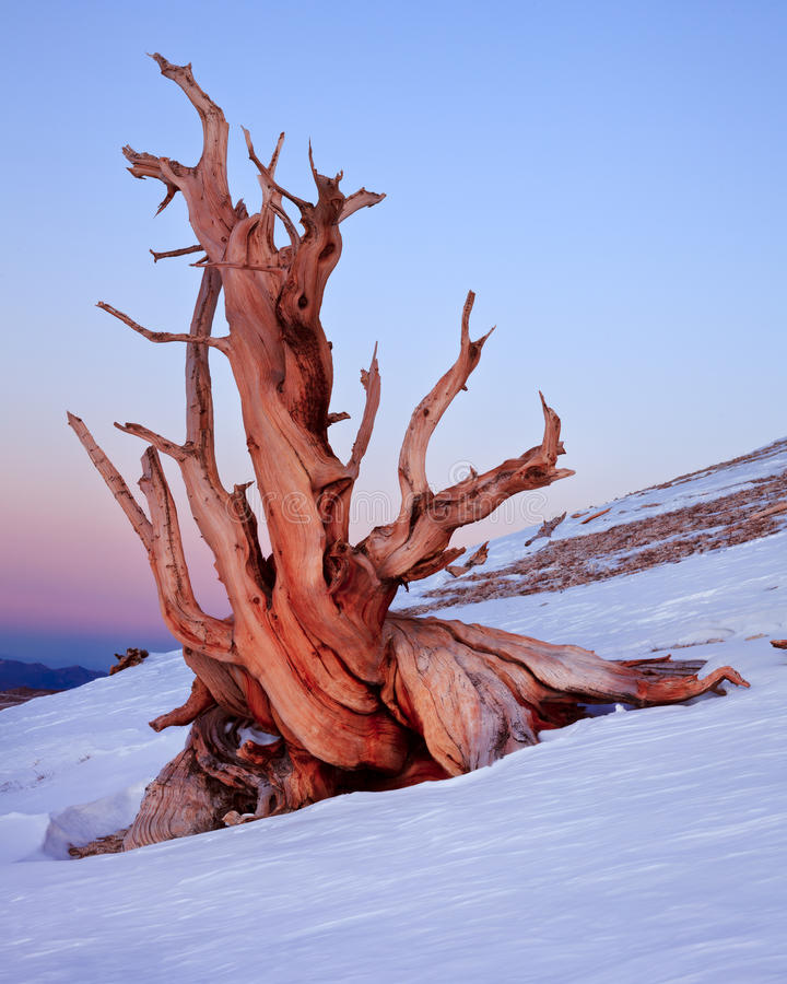 Ancient Bristlecone Pine, California. The Bristlecone Pine is the oldest living beings on earth. Some are known to be older than even the Romans. The White stock images