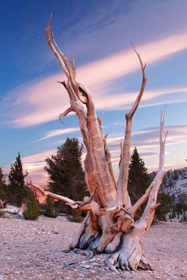 Ancient Bristlecone Pine, California. The Bristlecone Pine is the oldest living beings on earth. Some are known to be older than even the Romans. The White stock photos
