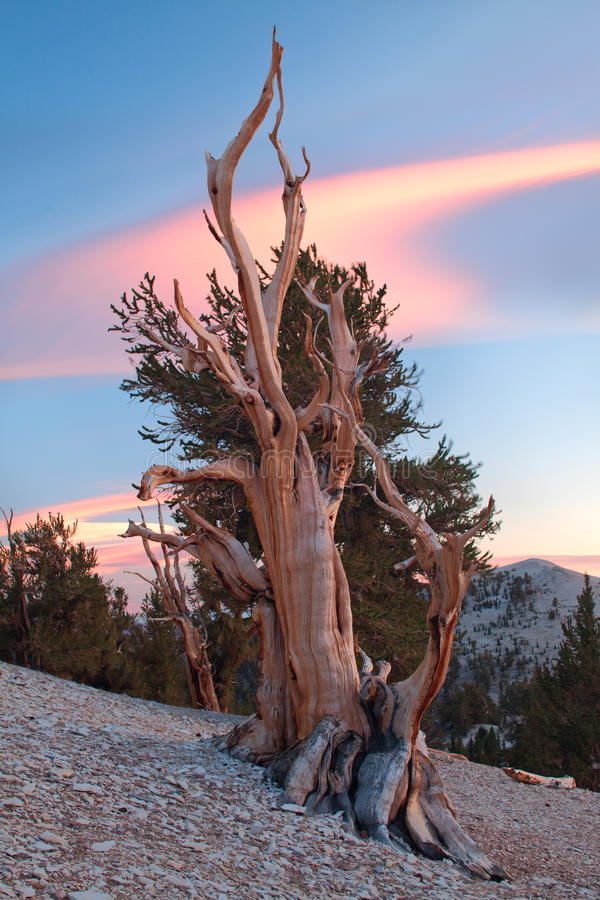 Ancient Bristlecone Pine, California. The Bristlecone Pine is the oldest living beings on earth. Some are known to be older than even the Romans. The White stock image
