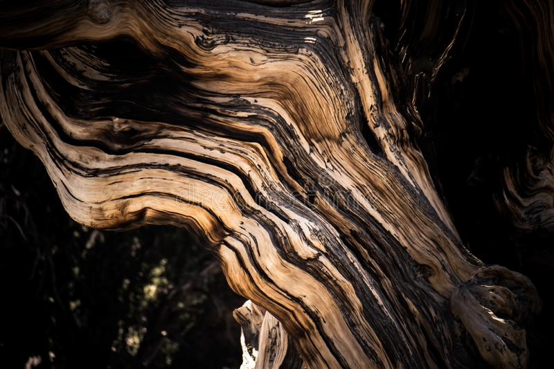 Ancient Bristlecone Pine Tree - macro abstract. Ancient Bristlecone Pine Tree - these old trees have twisted and gnarled features. California - White Mountains stock photography