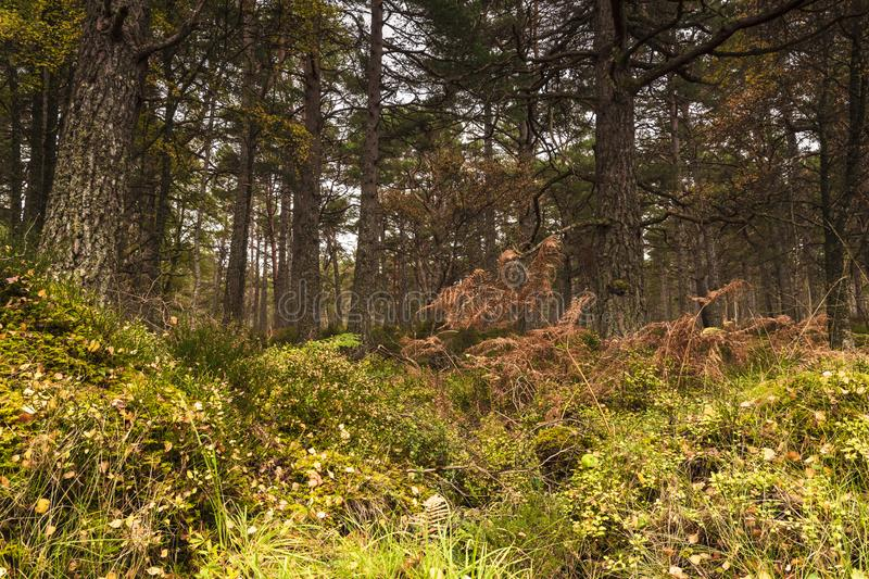 Caledonian Woodland. Ancient Caledonian forest on the shores of Loch Rannoch, Perth and Kinross, Scotland. 18 October 2018 royalty free stock images