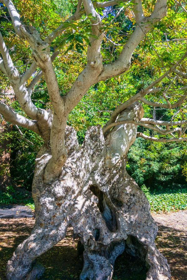 Ancient California buckeye tree Aesculus californica with hollow white trunk and twisted branches, still alive; UC Berkeley royalty free stock image