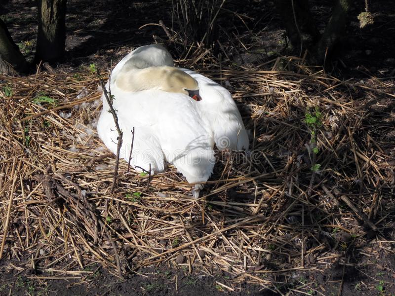 Europe, Belgium, West Flanders, Bruges, white Swan sleeping in a cozy nest royalty free stock photos