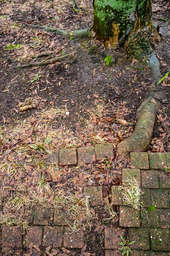 Ancient  cobblestone pavement is broken by the powerful root of a tree growing nearby stock photos