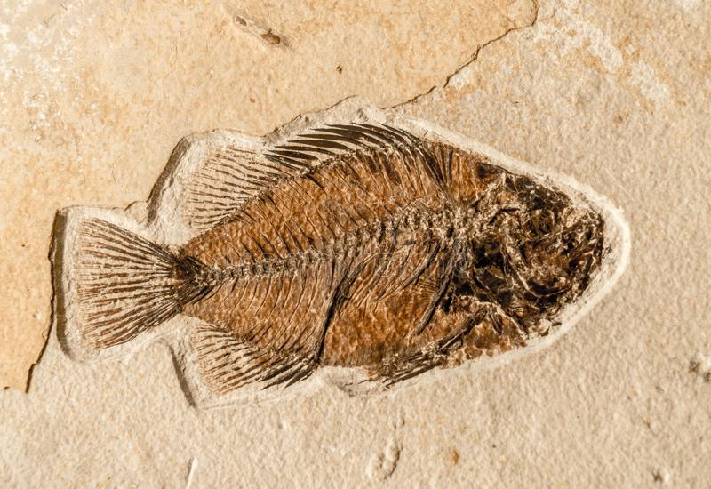 Ancient Fish Fossil. Fish fossil on sand stone background stock image