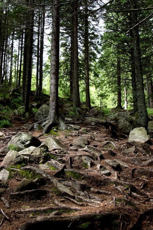 Ancient forest stock image